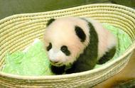 32万选1!为熊猫宝宝起名累坏日本人,看这些呆萌网红都是咋起名
