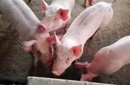国内猪肉价格大涨的原因,除了非瘟,还有这3个方面的原因