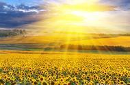 求写关于向日葵作文描写向日葵的句子