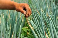 '种植大葱能改良土壤吗