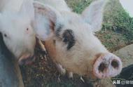 猪躁动不安情绪激动不一定是因为生病了,还有可能是因为食盐中毒