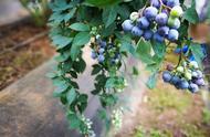 种植蓝莓每亩成本多少