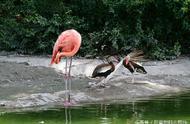 我也想做白富美:当鸭子遇到火烈鸟