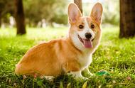 柯基犬受欢迎的6大原因,尤其是最后一个,最惹人爱!