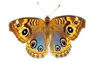 选一只喜欢的蝴蝶,测另一半对你的忠诚度有多高?