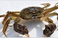 大闸蟹养殖户如何防控懒蟹的形成