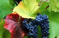 有关于红酒方面的英文术语和例句