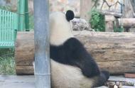 芬兰动物园给熊猫过中秋,胖达:唱的我都想家了