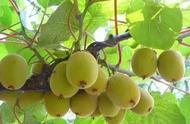猕猴桃缺钙问题多,一年中最重要的3个黄金补钙时期,千万别错过