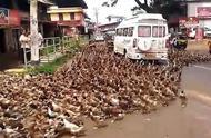 """""""动物国度""""印度,公路上不仅有神牛还有鸭子,为何无人敢驱赶?"""