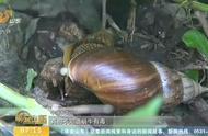注意!很多人都不知道大蜗牛有毒,触碰严重可致脑膜炎