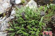 四川卧龙发现植物新物种—巴朗山雪莲
