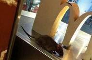 涩谷便利店惊现老鼠窝,花火大会垃圾遍地,日本如今的卫生真的没救了吗?