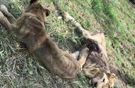 """辽阳动物园回应""""狮子瘦得皮包骨"""":刚购买回来,正调养"""