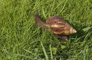 路边发现非洲大蜗牛,别吃也别碰!已有人因抓它发高烧