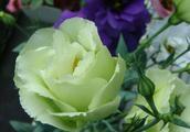 什么花的花语是钟爱一生?