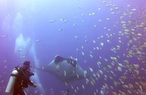 难得一遇的大事,男子在潜水时遇见魔鬼鱼求救,看似十分可怜