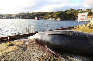 鲸鱼岸边搁浅 腹中取出30个塑料袋