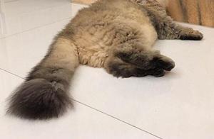 养猫日记之我又双叒养了一只猫咪,是个萌萌哒的金吉拉猫妹妹哟