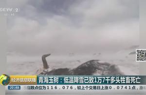 青海玉树低温降雪 已致1万7千多头牲畜死亡