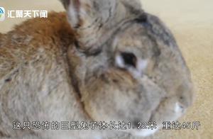 世界上最大的兔子,每年食物花费两万多人民币,主人为此觉得烦恼