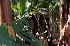 世界级经典喜剧《上帝也疯狂》片段2,香蕉林搞笑