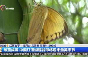 上亿只蝴蝶宝宝即将破茧成蝶,中国红河蝴蝶谷即将迎来最美的季节