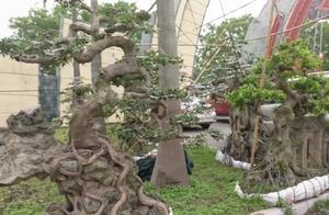 精品盆景树桩,花鸟市场上有人在卖树桩,天然的造型,价值不菲!