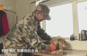 小狮子乐乐在饲养员的帮助下身体逐渐恢复,日常生活欢乐多
