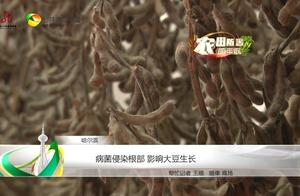 病菌侵染根部 影响大豆生长