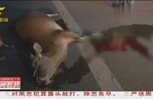 小轿车通过路口不减速,撞向路过的黄牛,4头黄牛当场死亡
