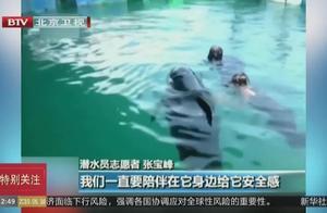 三亚搁浅领航鲸死亡:志愿者24小时浸泡在海水中看护