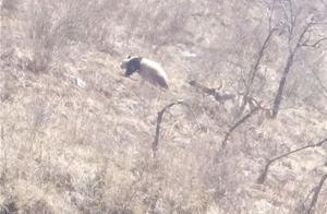 大熊猫下山被犬欺 长得胖跑不过狗