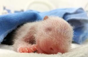 西安交大二附院专家精心救治出生仅10小时的熊猫幼仔
