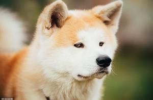 忠犬八公原型,秋田犬虽然忠诚,但这种狗狗并不容易养