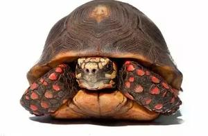最受欢迎的宠物龟 | 红腿陆龟,被遗忘仓库30年仍存活?