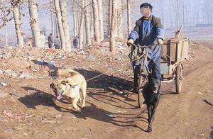 中华田园犬受老人多年照顾,长大以后开始报恩,挣钱拉车不在话下