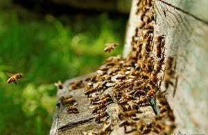 抓回的野蜂群已有3天,有进有出却不采蜜是什么原因?如何解决?