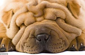 满脸褶皱的沙皮犬,看不出开不开心,这种狗狗真的有人喜欢吗?
