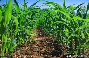 种植补贴、干旱、虫害、国储拍卖,助推玉米价格上涨,接下来呢?