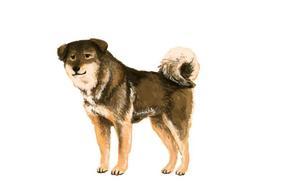 中华田园犬压根就不是一个犬种?是时候转变你的观念了!