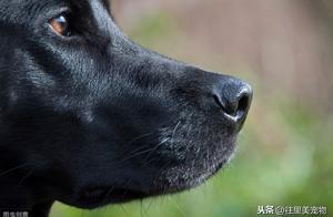 狗的鼻头会变色?是的,不是一直黑!