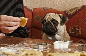 """巴哥犬缺钙时,身体会发出这""""5种信号"""",你家的有吗?"""