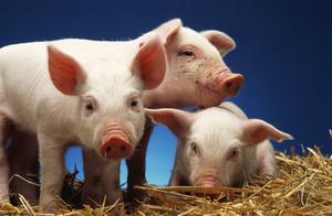 猪不吃食,打针没有效果,怎么办?这些解决思路很有用