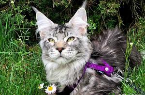 辟谣:猫咪可不是只有长相甜美的,看看缅因猫就知道什么叫霸气了