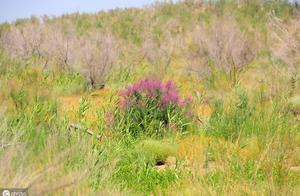 全球不为人知的秘境:新疆大漠繁花似锦,也是优良的冬季牧场