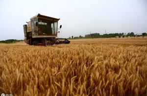 收小麦一亩地多少钱?有人说30元,有人说70元,为何相差这么大?