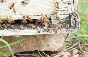空蜂箱内引来盗蜂,如何处理?老蜂农:分情况