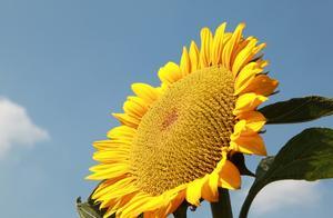 当代著名女作家张抗抗的散文名篇《向日葵》,请欣赏!