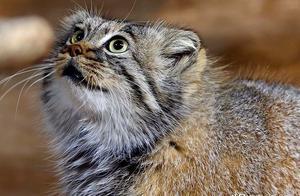 作为猫科动物中的新晋网红,兔狲拥有着与之体型不符的狂野性情